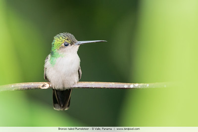 Bronze-tailed Plumeleteer - El Valle, Panama
