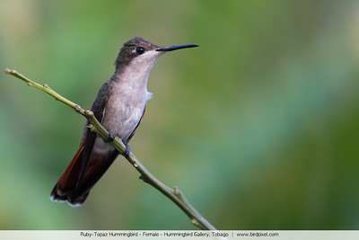 Ruby-Topaz Hummingbird - Female - Hummingbird Gallery, Tobago