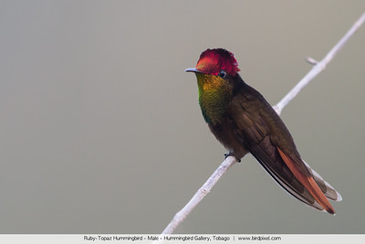 Ruby-Topaz Hummingbird - Male - Hummingbird Gallery, Tobago