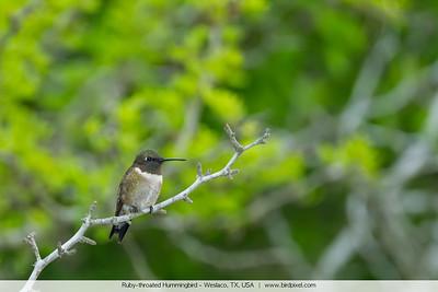 Ruby-throated Hummingbird - Weslaco, TX, USA