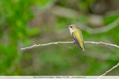 Ruby-throated Hummingbird - Weslaco, TX, USA