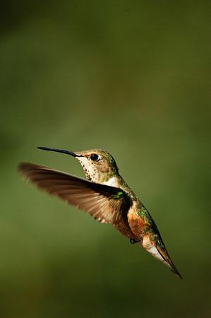 Rufous Hummingbird-172
