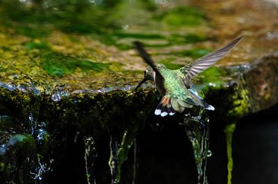 Rufous Hummingbird B8207-2