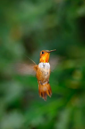 Rufous Hummingbird-159