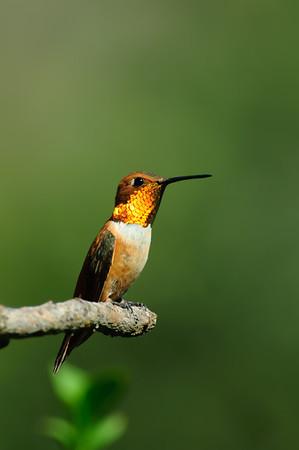 Rufous Hummingbird-270