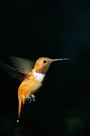 Rufous Hummingbird-203