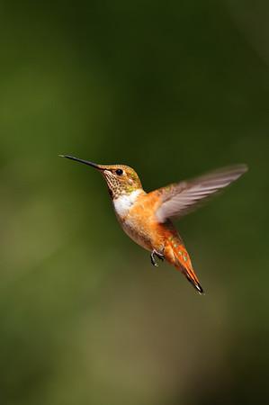 Rufous Hummingbird-1480
