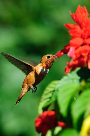 Rufous Hummingbird-280