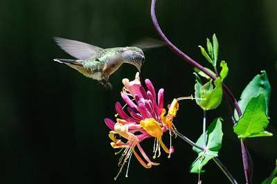 Rufous Hummingbird-6266