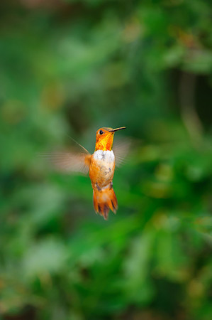 Rufous Hummingbird-157-Edit