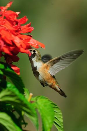 Rufous Hummingbird-458