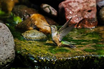 Rufous Hummingbird B8251