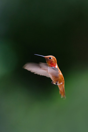 Rufous Hummingbird-1431