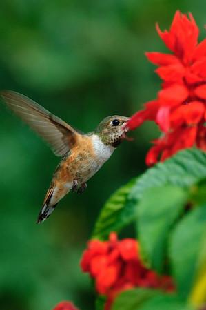 Rufous Hummingbird-250