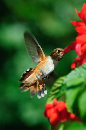 Rufous Hummingbird-256