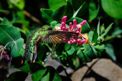 Rufous Hummingbird-6224