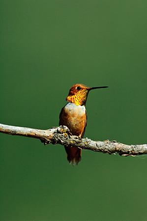 Rufous Hummingbird-532