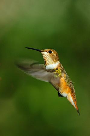 Rufous Hummingbird-501