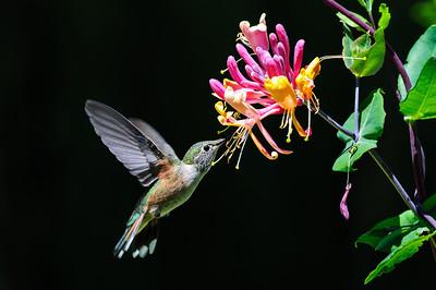Rufous Hummingbird-6208