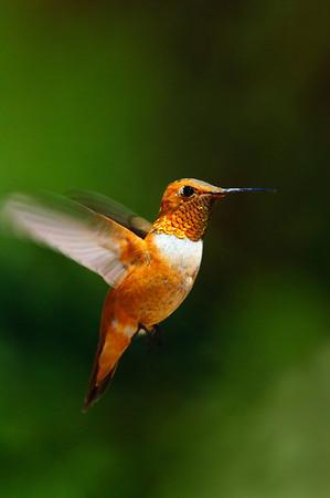 Rufous Hummingbird-176