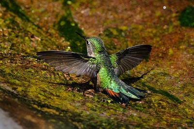 Rufous Hummingbird-6232
