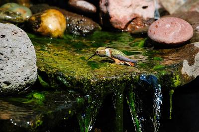 Rufous Hummingbird B7897