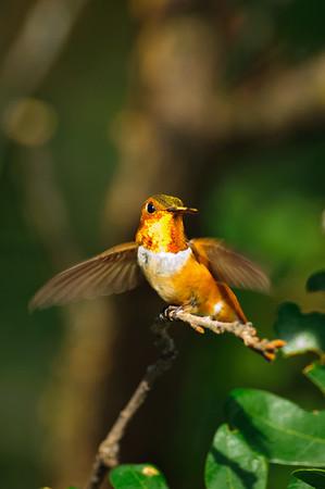 Rufous Hummingbird-168