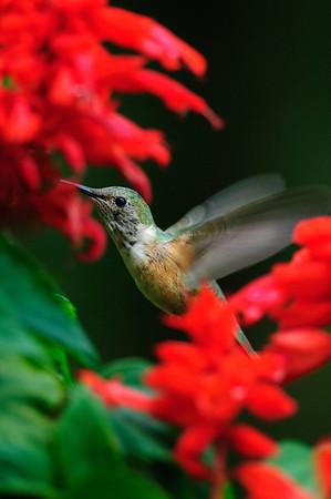 Rufous Hummingbird-181
