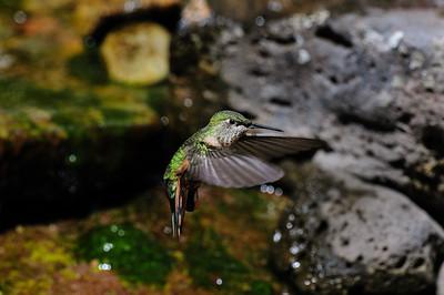 Rufous Hummingbird-6220