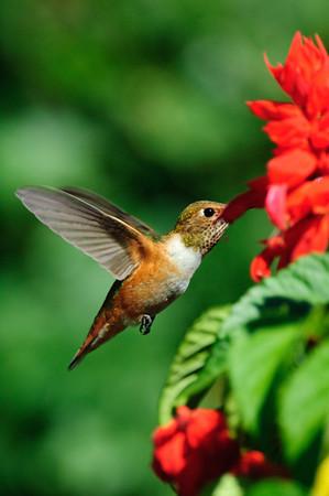 Rufous Hummingbird-265
