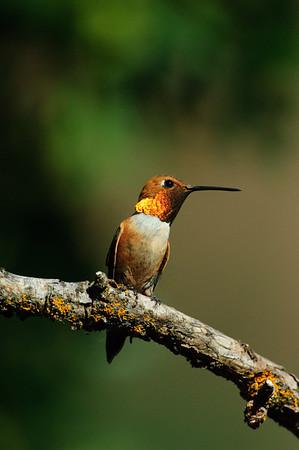 Rufous Hummingbird-275