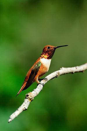 Rufous Hummingbird-266