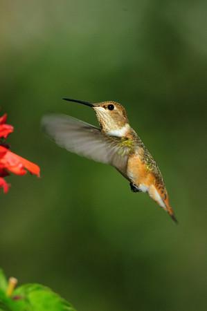 Rufous Hummingbird-499