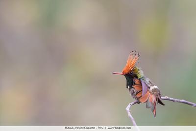 Rufous-crested Coquette - Peru