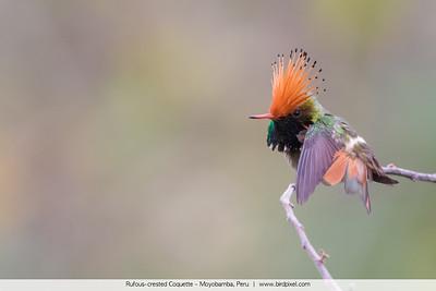 Rufous-crested Coquette - Moyobamba, Peru