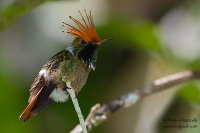 Rufous-crested Coquette - Amazonia Lodge, Nr. Manu National Park, Peru