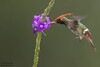 Rufous-crested Coquette - Amazon, Peru