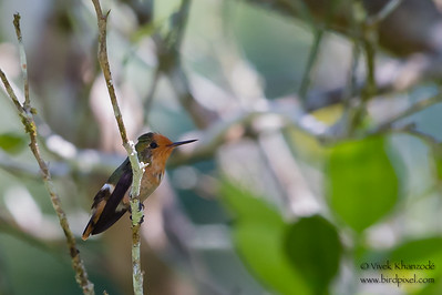 Rufous-crested Coquette - Female - Amazonia Lodge, Nr. Manu National Park, Peru