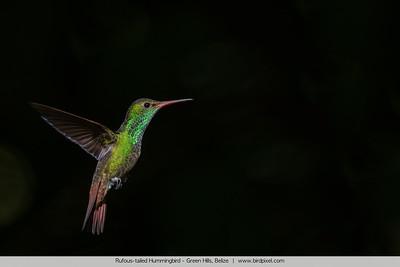 Rufous-tailed Hummingbird - Green Hills, Belize