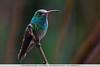 Rufous-tailed Hummingbird - Los Quetzales Lodge, Guadalupe, Panama