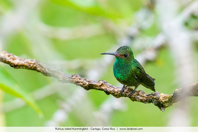 Rufous-tailed Hummingbird - Cartago, Costa Rica