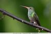 Rufous-tailed Hummingbird - Tandayapa Valley, Ecuador
