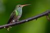 Rufous-tailed Hummingbird - Tandayapa Lodge, Quito, Ecuador