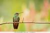 Rufous-tailed Hummingbird - Mindo, Ecuador