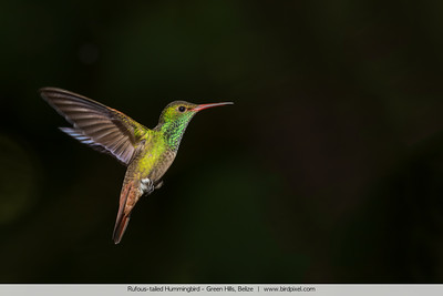 Rufous-tailed Hummingbird - Green Hills, Belize