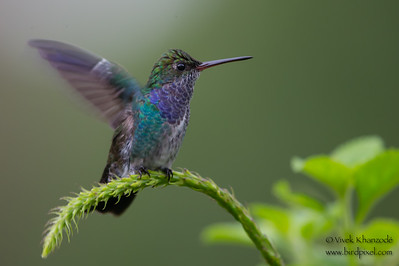 Sapphire-spangled Emerald - Amazonia Lodge, Nr. Manu National Park, Peru