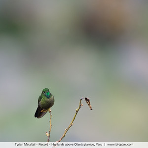 Tyrian Metaltail - Record - Highlands above Ollantaytambo, Peru