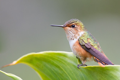 Scintillant Hummingbird - Female - Savegre, Costa Rica