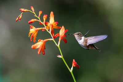 Scintillant Hummingbird - San Jose, Costa Rica