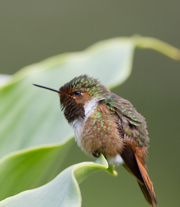 Scintillant Hummingbird - Male - Savegre, Costa Rica